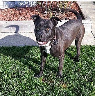 Labrador Retriever Mix Dog for adoption in Crestline, California - Dale