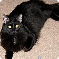 Adopt A Pet :: Jon Jon (declawed) - St.Ann, MO