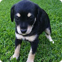 Adopt A Pet :: JJ - La Habra Heights, CA