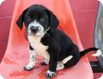 Spaniel (Unknown Type)/Labrador Retriever Mix Puppy for adoption in Franklin, Tennessee - PUPPY FOSTERS NEEDED