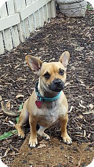 Pug/Chihuahua Mix Dog for adoption in Adamsville, Tennessee - Juicy Couture