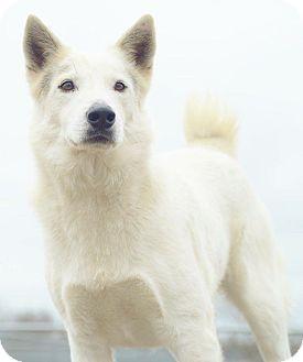 Shepherd (Unknown Type)/Great Pyrenees Mix Dog for adoption in Seattle, Washington - A - BLANCO
