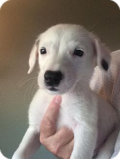 Border Collie/Australian Cattle Dog Mix Puppy for adoption in Cave Creek, Arizona - Barrett