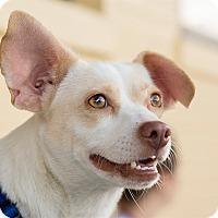Adopt A Pet :: Dixie Belle - Durham, NC