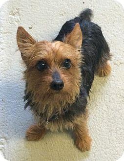 Yorkie, Yorkshire Terrier Dog for adoption in Oak Ridge, New Jersey - Nino