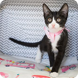 Domestic Shorthair Kitten for adoption in Montclair, California - Poppy
