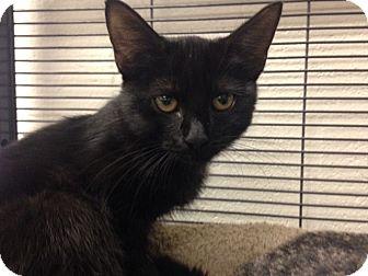 Domestic Shorthair Kitten for adoption in Sarasota, Florida - Mimosa