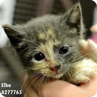 Domestic Mediumhair Kitten for adoption in Conroe, Texas - ELBA