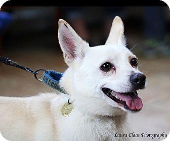 Corgi/American Eskimo Dog Mix Dog for adoption in Oak Ridge, New Jersey - Simon