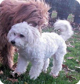 Maltese Mix Puppy for adoption in Beloit, Wisconsin - Hollipop
