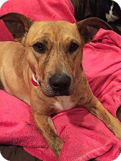 Plott Hound Mix Dog for adoption in Barnhart, Missouri - Sunshine