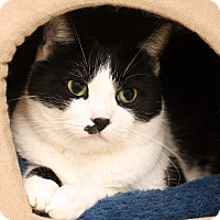 Adopt A Pet :: JOPLIN - Royal Oak, MI