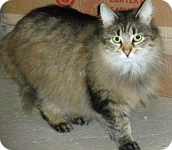 Maine Coon Cat for adoption in Washington, Virginia - Amelia