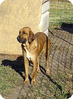 Bloodhound/Labrador Retriever Mix Dog for adoption in Moulton, Alabama - Sally