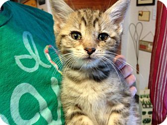 Domestic Shorthair Kitten for adoption in Mays Landing, New Jersey - Regan