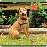 American Staffordshire Terrier/Labrador Retriever Mix Dog for adoption in Sarasota, Florida - Wyland