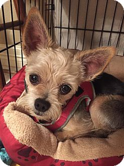 Yorkie, Yorkshire Terrier/Chihuahua Mix Dog for adoption in Tomball, Texas - Scooter