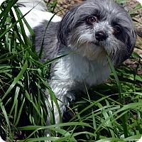Adopt A Pet :: Izzy - Bridgeton, MO