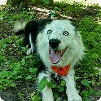Adopt A Pet :: Callie - Capon Bridge, WV