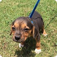 Adopt A Pet :: Shimmer (POM DC) - Plainfield, CT