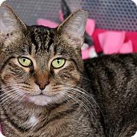 Adopt A Pet :: Kitty Baby - Sarasota, FL