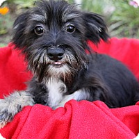 Yorkie, Yorkshire Terrier/Maltese Mix Puppy for adoption in Newport Beach, California - RICKI