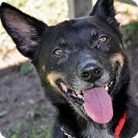 Adopt A Pet :: Buddy - Georgetown, TX