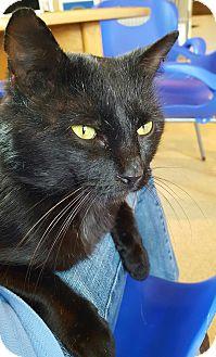Domestic Shorthair Cat for adoption in Salisbury, Massachusetts - Chicory