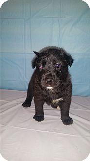 Siberian Husky/Labrador Retriever Mix Puppy for adoption in Baltimore, Maryland - Brady