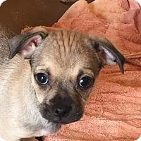 Adopt A Pet :: Abra's pup Pidgey - Tucson, AZ
