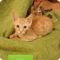 Domestic Shorthair Kitten for adoption in Land O Lakes, Florida - Kalua