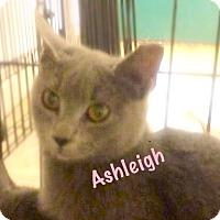 Russian Blue Kitten for adoption in York, Pennsylvania - Ashleigh