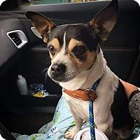 Adopt A Pet :: Inigo Montoya - Chicago, IL