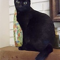 American Shorthair Kitten for adoption in Orlando, Florida - Blanche