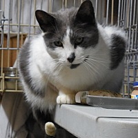 Domestic Shorthair Cat for adoption in Belvidere, New Jersey - Peter
