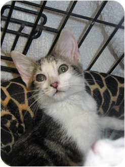 Domestic Shorthair Kitten for adoption in Modesto, California - Twinkle