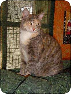 Domestic Shorthair Cat for adoption in Sherman Oaks, California - Ginger