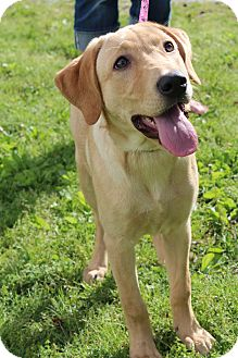 Labrador Retriever Puppy for adoption in Bedminster, New Jersey - Sadie