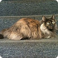 Adopt A Pet :: Betty Kai (front declaw) - Sterling Hgts, MI