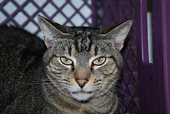 Domestic Shorthair Cat for adoption in Pottsville, Pennsylvania - Pretty girl