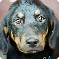 Adopt A Pet :: Little Bit - Uxbridge, MA