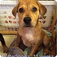 Adopt A Pet :: Butterfingers - West Hartford, CT