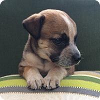 Adopt A Pet :: Fidget - Greensboro, GA