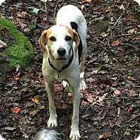 Foxhound Dog for adoption in Morehead, Kentucky - Viola