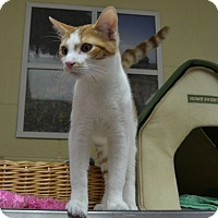 Domestic Shorthair Cat for adoption in Wheaton, Illinois - Bubbles