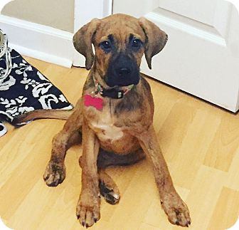 Boxer/Labrador Retriever Mix Puppy for adoption in Greenfield, Wisconsin - Abby