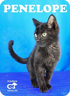 Domestic Shorthair Kitten for adoption in Carencro, Louisiana - Penelope