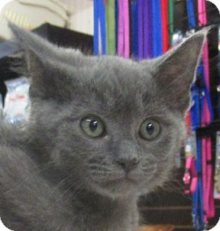 Domestic Shorthair Kitten for adoption in Lloydminster, Alberta - Usher