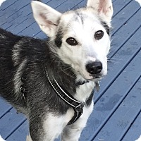 Husky Mix Dog for adoption in North Vancouver, British Columbia - MYA