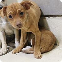 Adopt A Pet :: A16 Akeya - Odessa, TX